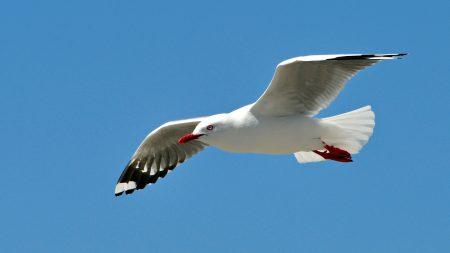 gull, bird, sky