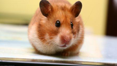 hamster, big-eared, muzzle
