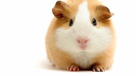 hamster, guinea pig, big