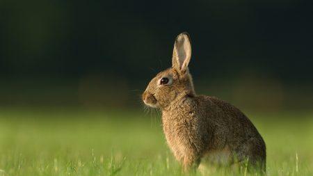 hare, grass, rabbit