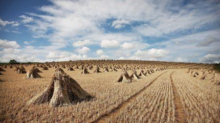 hay, sheaves, crop