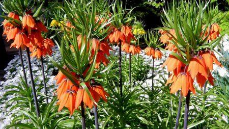 hazel, flower, flowerbed