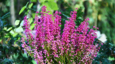 heather, flowers, pots