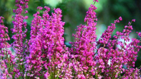 heather, flowers, sharpness