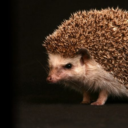hedgehog, background, dark