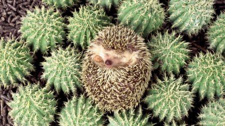 hedgehog, cactus, spines