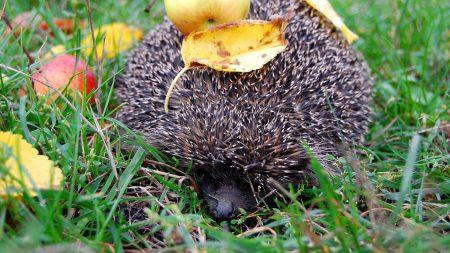 hedgehog, needle, apples