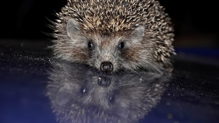 hedgehog, spines, baby