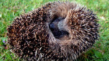 hedgehog, spines, lie