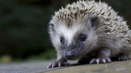 hedgehog, spines, nose