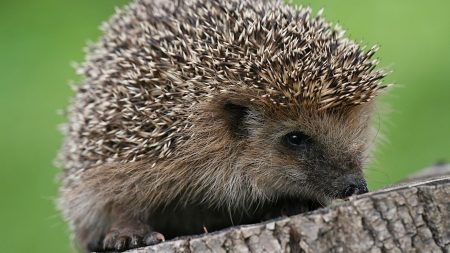 hedgehog, spines, small