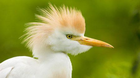 heron, head, feathers