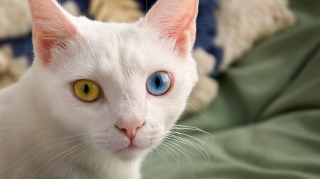 heterochromia, different eyes, color