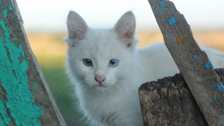heterochromia, white cat, cat