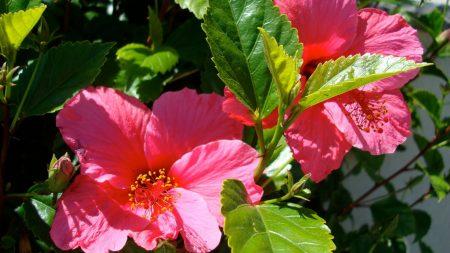 hibiscus, blossoms, pollen
