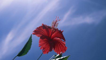 hibiscus, flower, shrub