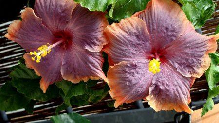 hibiscus, flowering, close-up