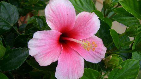 hibiscus, flowering, pink