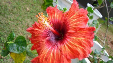 hibiscus, pot, flowering
