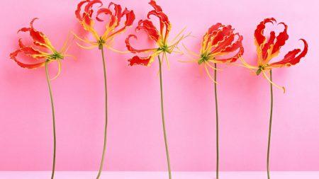 higanbana, china, red