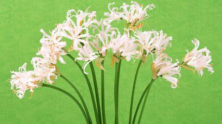 higanbana, white, china
