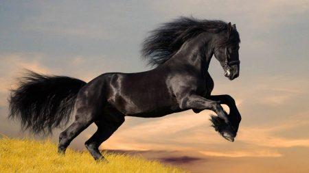 horse, black, jumping