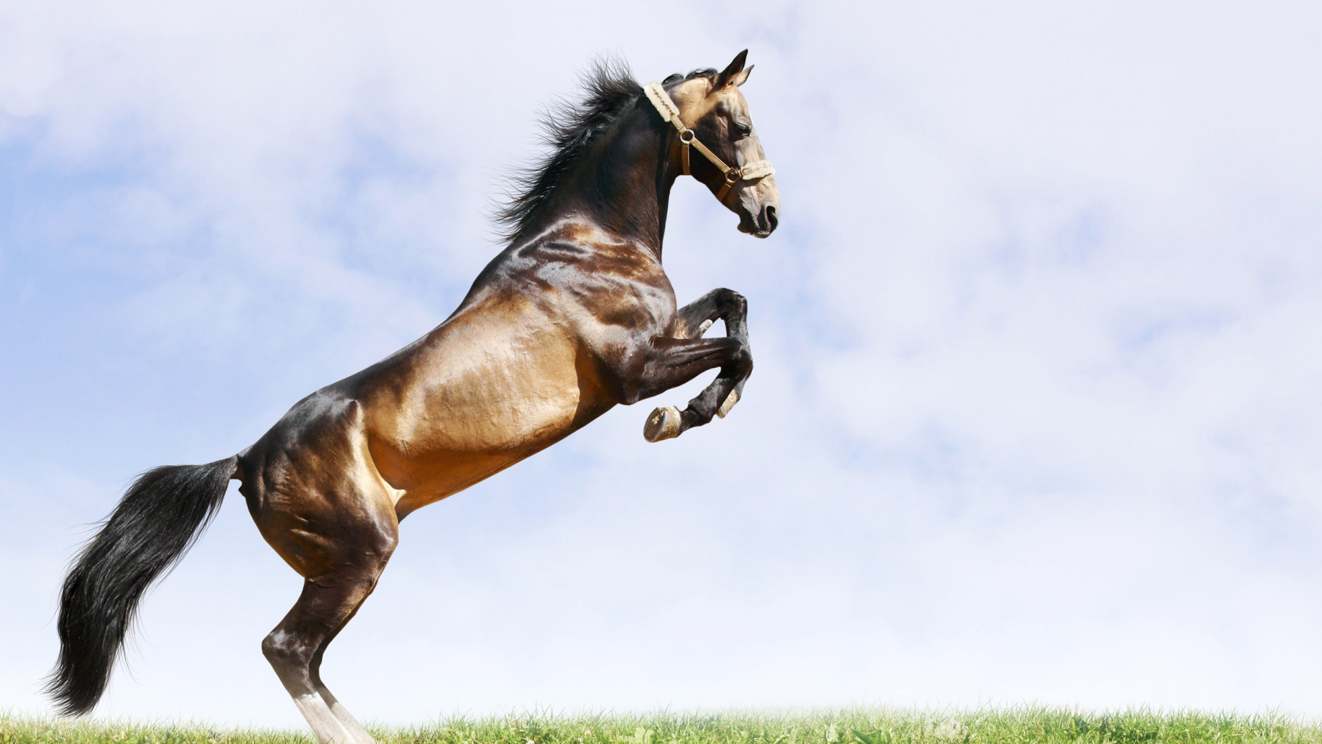 Download Wallpaper 1920x1080 Horse Jumping Grass Field Full Hd 1080p Hd Background