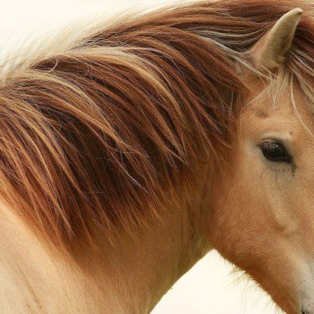 horse, mane, stallion