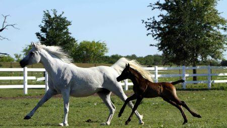 horse, stallion, gallop