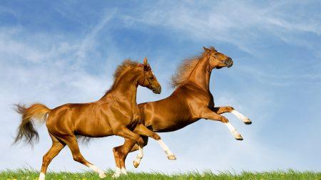 horses, couple, nature