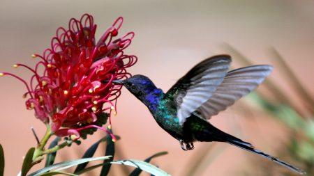 hummingbirds, blue, flight
