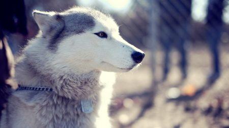 husky, dog, muzzle