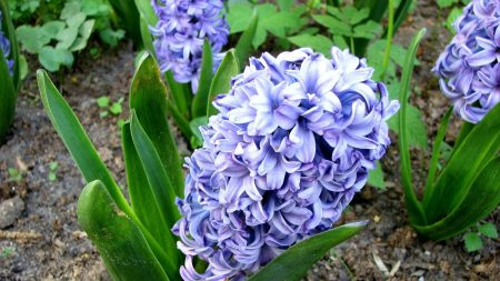 hyacinth, flower, flowerbed