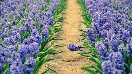 hyacinths, spring, sunny