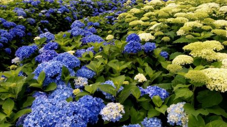 hydrangea, bloom, different