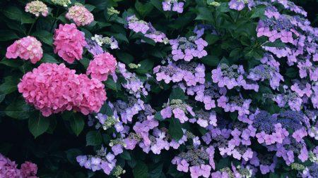 hydrangea, diverse, colorful