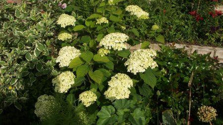 hydrangea, flower, flowerbed