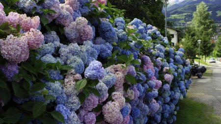 hydrangea, flower, shrub