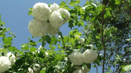 hydrangea, flowering, branches