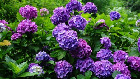 hydrangea, flowering, shrubs