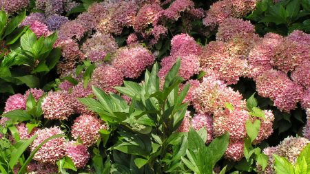 hydrangea, flowers, sunny