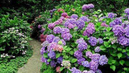 hydrangea, shrub, herb