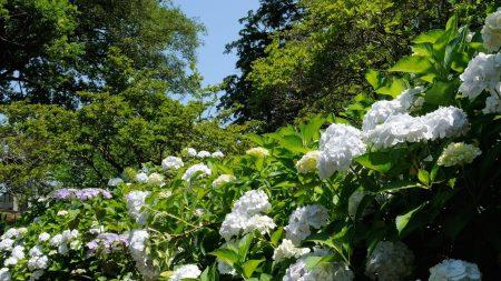 hydrangea, snow-white, blossom
