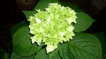 hydrangea, white, leaf