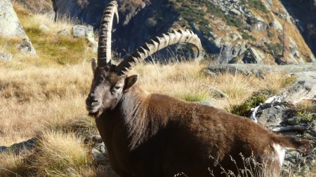 ibex, grass, rocks
