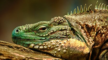 iguana, face, color