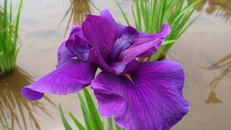 iris, flower, bright