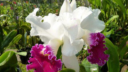 iris, flower, drops