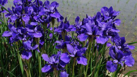 irises, flower, purple
