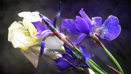 irises, flowers, bouquet